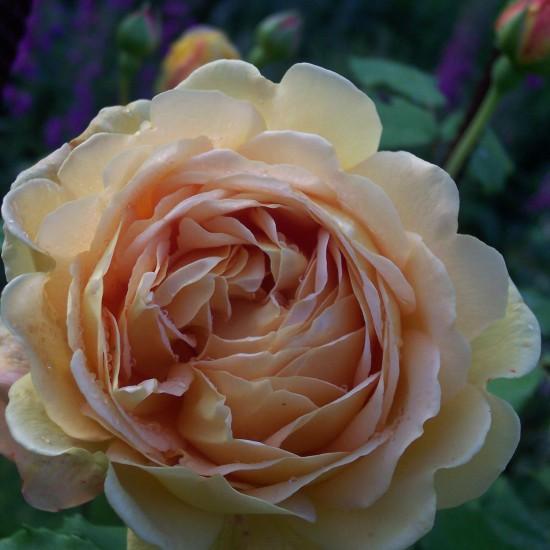 bourgogne-roses-printemps-automne-2008-013